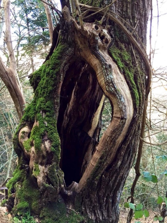 Il tronco di un castagno sui colli cortonesi