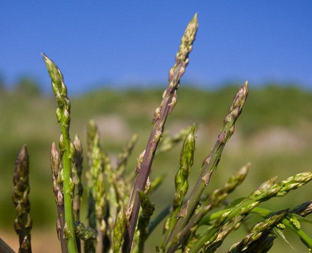 Domenica 9 Aprile - … alla ricerca degli Asparagi! Fra il piacere del cammino e la gioia della tavola…