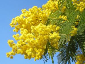 festa-della-donna-mimosa-8-marzo_0